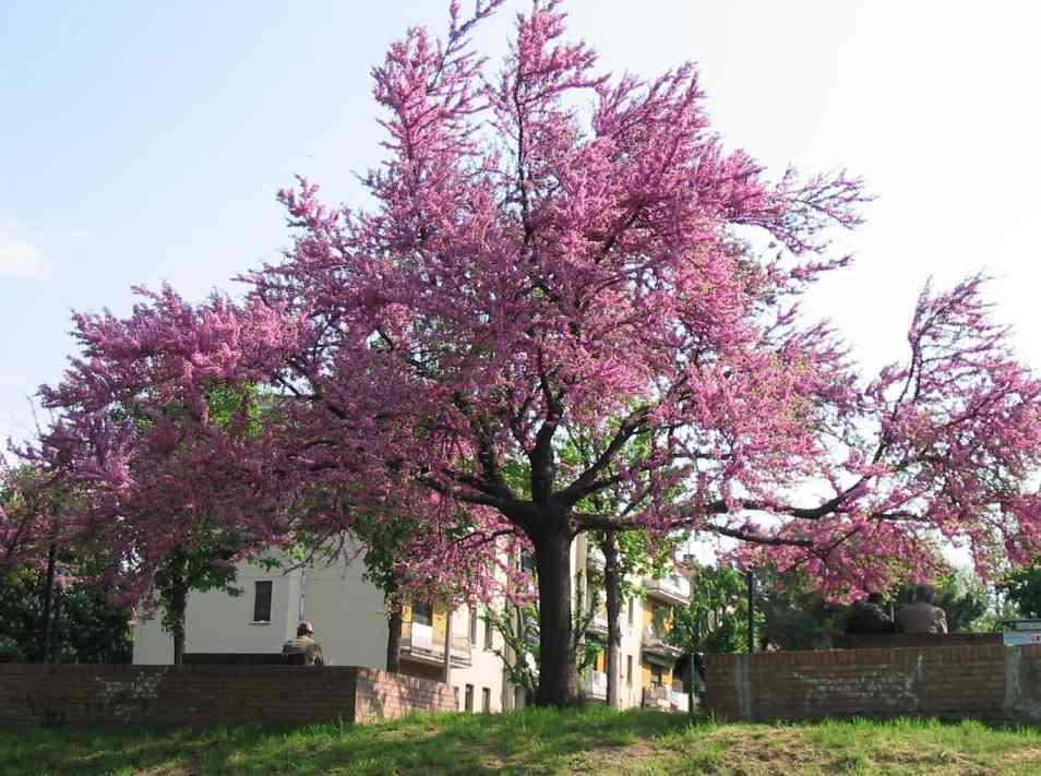 Alberi da giardino con fiori alberi da fiore piante da for Alberi da giardino con fiori