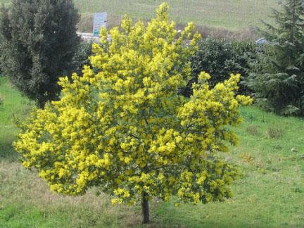 Mimosa parametrico h 12 metri chioma 4 5 metri max - Fiori gialli profumati ...