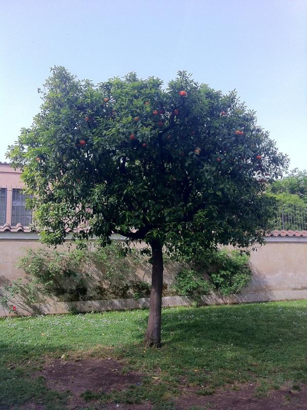 Arancio amaro citrus aurantium h 6 m diametro - Albero sempreverde da giardino ...