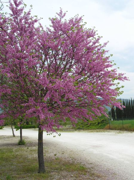 Albero solare albero di giuda h 8 10 m x 10 laura - Alberi adatti per viali ...