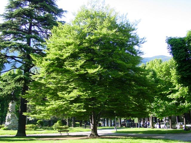 Es 4 vasari albero parametrico faggio tecniche - Albero sempreverde da giardino ...